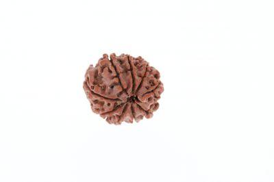 Natural 9 Mukhi Rudraksha - 3.52 Grams Weight - Origin - Nepal
