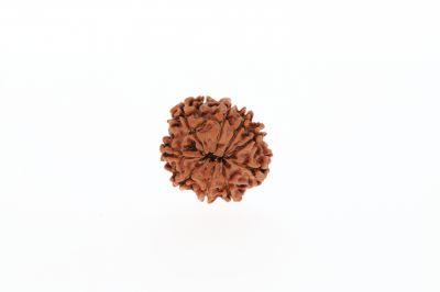 9 Mukhi Rudraksha - 2.62 Grams Weight - Origin - Nepal