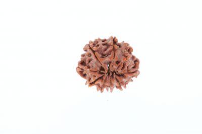 9 Mukhi Rudraksha - 3.13 Grams Weight - Origin - Nepal
