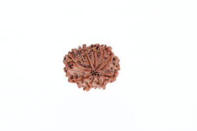 Rudraksha 9 Mukhi Brown - 3.20 Grams Weight - Origin - Nepal