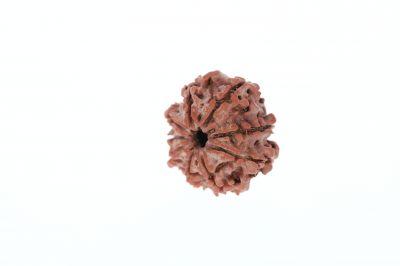 Rudraksha 9 Mukhi Brown - 2.92 Grams Weight - Origin - Nepal