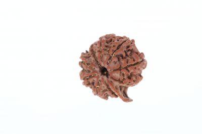 Rudraksha 9 Mukhi Brown - 3.94 Grams Weight - Origin - Nepal