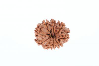 Rudraksha 9 Mukhi Brown - 2.71 Grams Weight - Origin - Nepal
