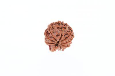 Rudraksha 9 Mukhi Brown - 3.24 Grams Weight - Origin - Nepal