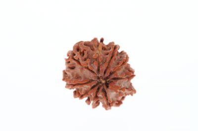 Rudraksha 9 Mukhi Brown - 2.93 Grams Weight - Origin - Nepal