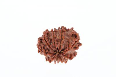 Rudraksha 9 Mukhi Brown - 2.77 Grams Weight - Origin - Nepal