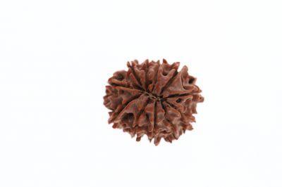 11 Mukhi Rudraksh