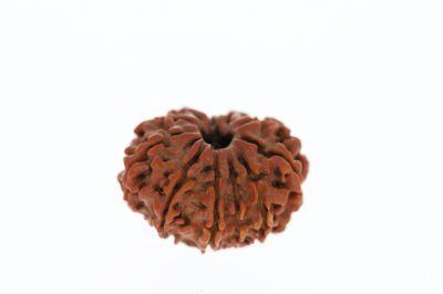 Rudraksha 11 Mukhi Brown - 3.31 Grams Weight - Origin - Nepal