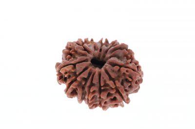Rudraksha 12 Mukhi Brown - 4.00 Carat Weight - Origin - Nepal