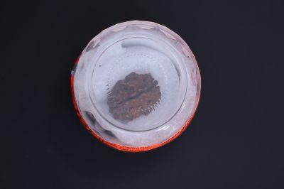 Natural 1 Mukhi Rudraksha - 02.225 Carat Weight - Origin - India