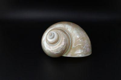 Golden Pearl Snail Shell