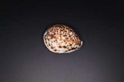 Lucky Natural Seashell (Kodi)