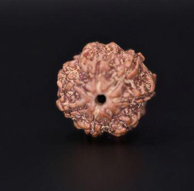 Rudraksha 7 Mukhi  Brown - 2.60 Gram Weight - Origin - Nepal